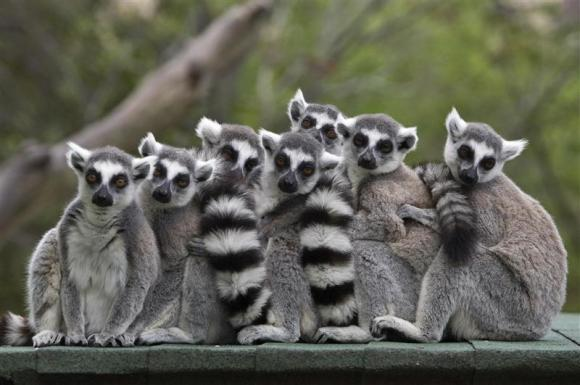 File photo of ring-tailed lemurs standing together at the Haifa zoo